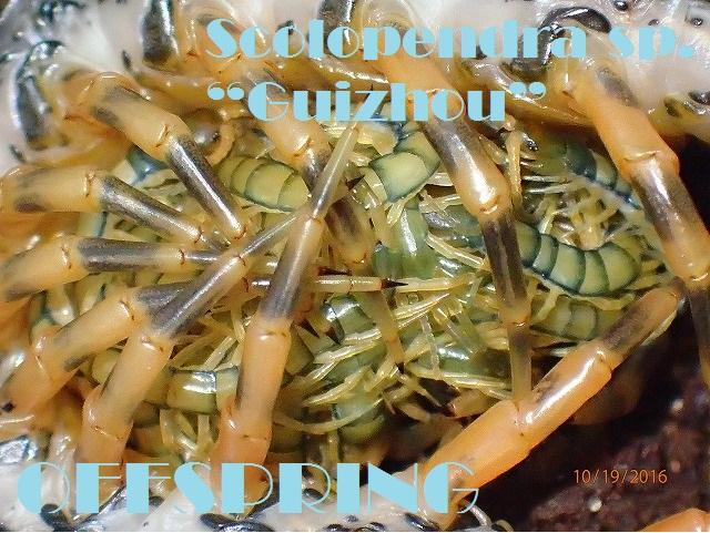 "Scolopendra sp. ""Guizhou""20161003"