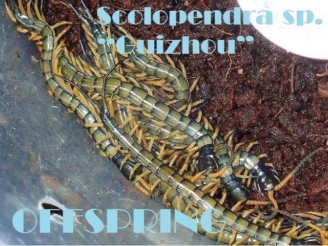 "Scolopendra sp. ""Guizhou""20161004"