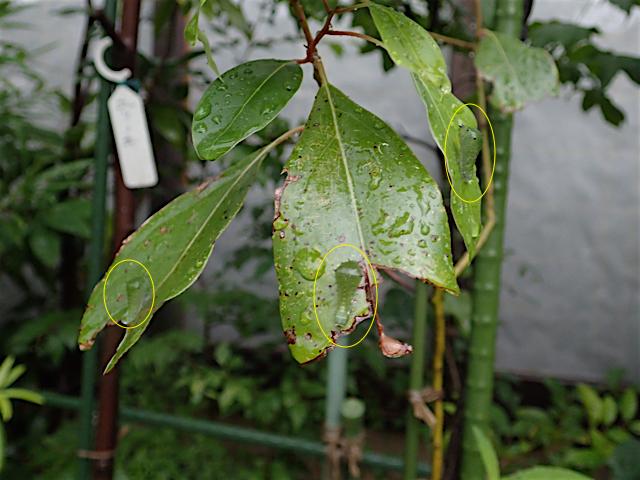 アオスジアゲハ幼虫3