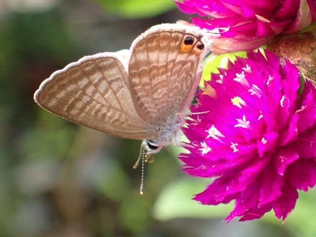 ウラナミシジミ♂羽裏