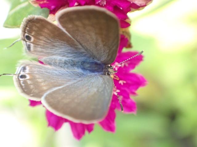 ウラナミシジミ♂羽表