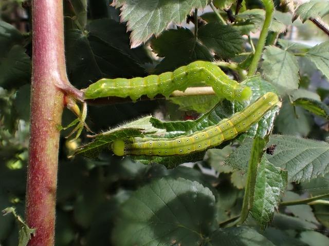 アカキリバ幼虫