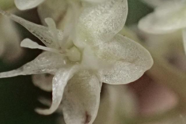 ウンナンヒャクヤクの花(拡大)