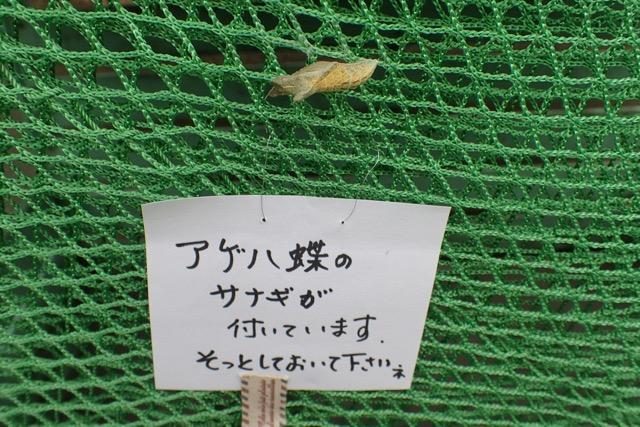 アゲハの蛹拡大