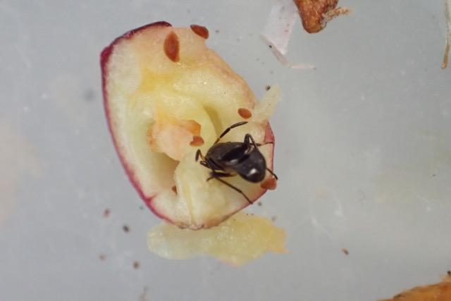 クロアシホソナガカメムシ幼体/クランベリー