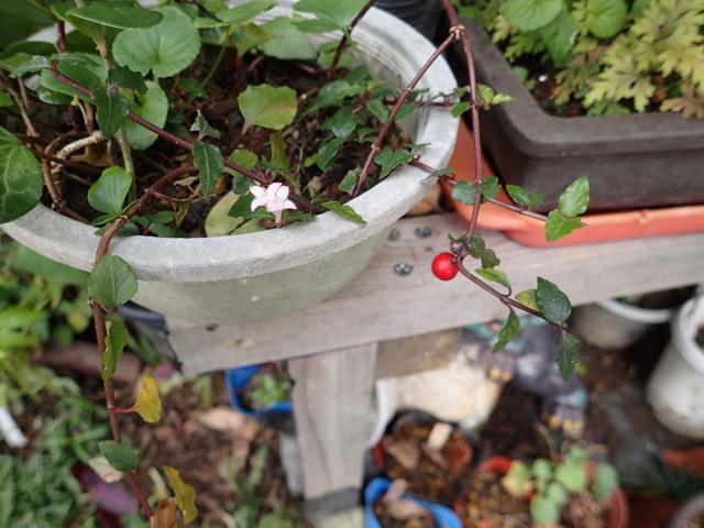ツルアリドウシの花と実