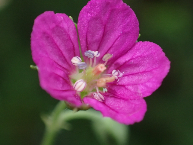 ゲンノショウコ花