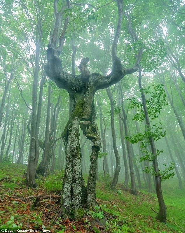 ブルガリアの森の中で「人間の姿をした木」が発見される!まるで木の巨人のようだ...