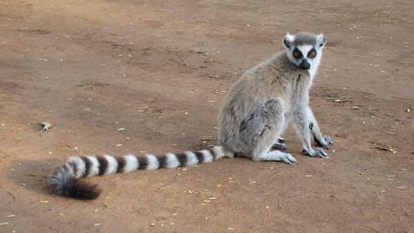 800px-Lemur_catta_001.jpg