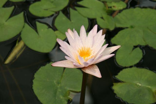 琵琶湖のハスが消滅し「復元不可能」に…専門家「粘土層が消失したから」