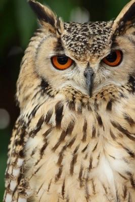 Owl36873687.jpg