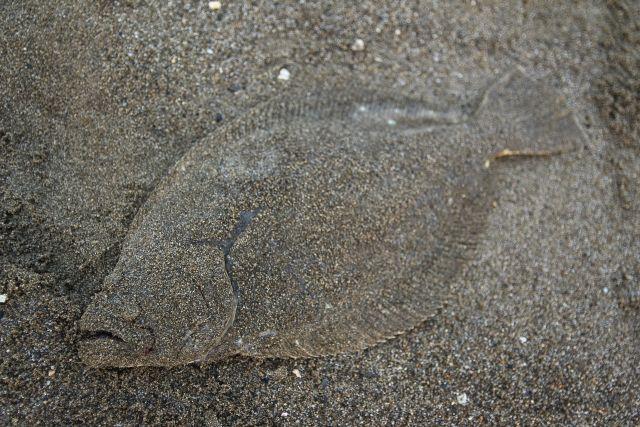 宮城沖でヒラメが大漁!漁獲量、サイズともに増加…年々好調な勢い