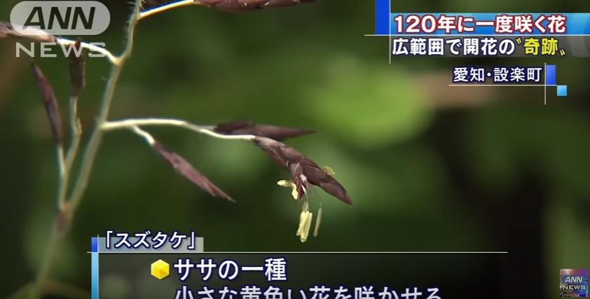 【前触れ】愛知県で120年に一度だけ咲く「笹の花」が一斉に開花…「120年前 1896年→ M8.5明治三陸地震が発生」