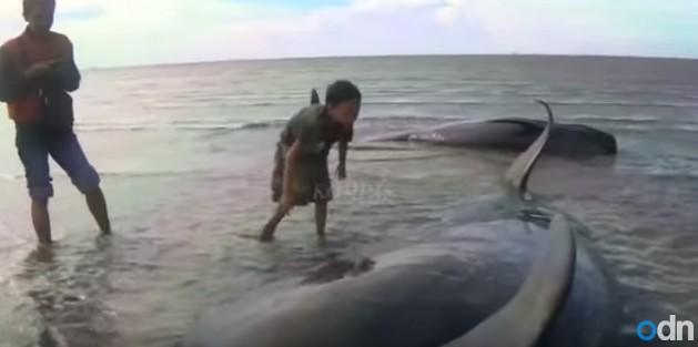 インドネシアの海岸で「ゴンドウクジラ32頭」が打ち上げられる!地元当局「一度にたくさん打ち上げられるのは極めて珍しい」