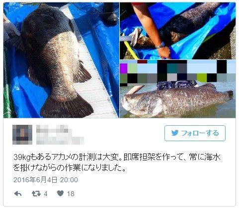 【四国】高知の浦戸湾で魚の「巨大アカメ」39kgが釣り上がる…愛媛では大量の「ホタル」が一夜にして消える!