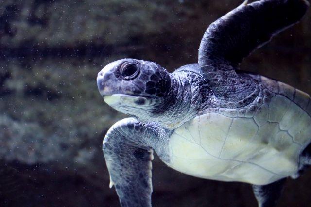 【南海トラフ】アカウミガメの産卵地である徳島県の海岸に異変…昭和29年から毎年来ていたカメたちの産卵がゼロ、上陸なし