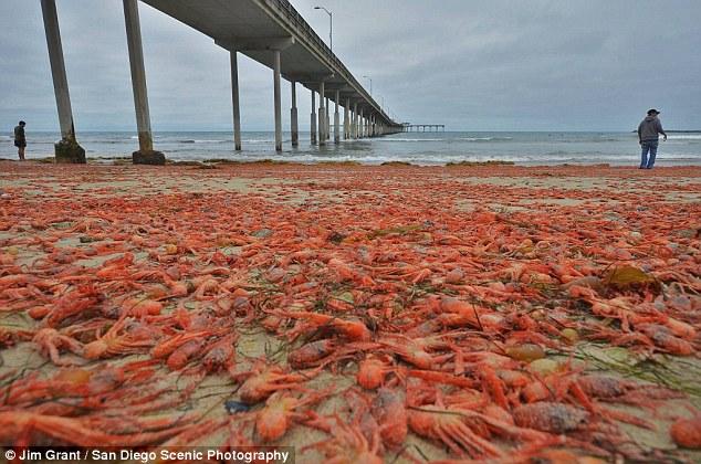 【大量発生】アメリカ西海岸の砂浜に「カニ数十万匹」が打ち寄せられる!