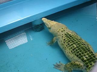 生態 研究 所 ワニガメ