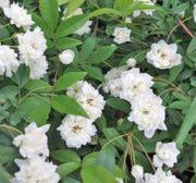 白花モッコウバラ-2