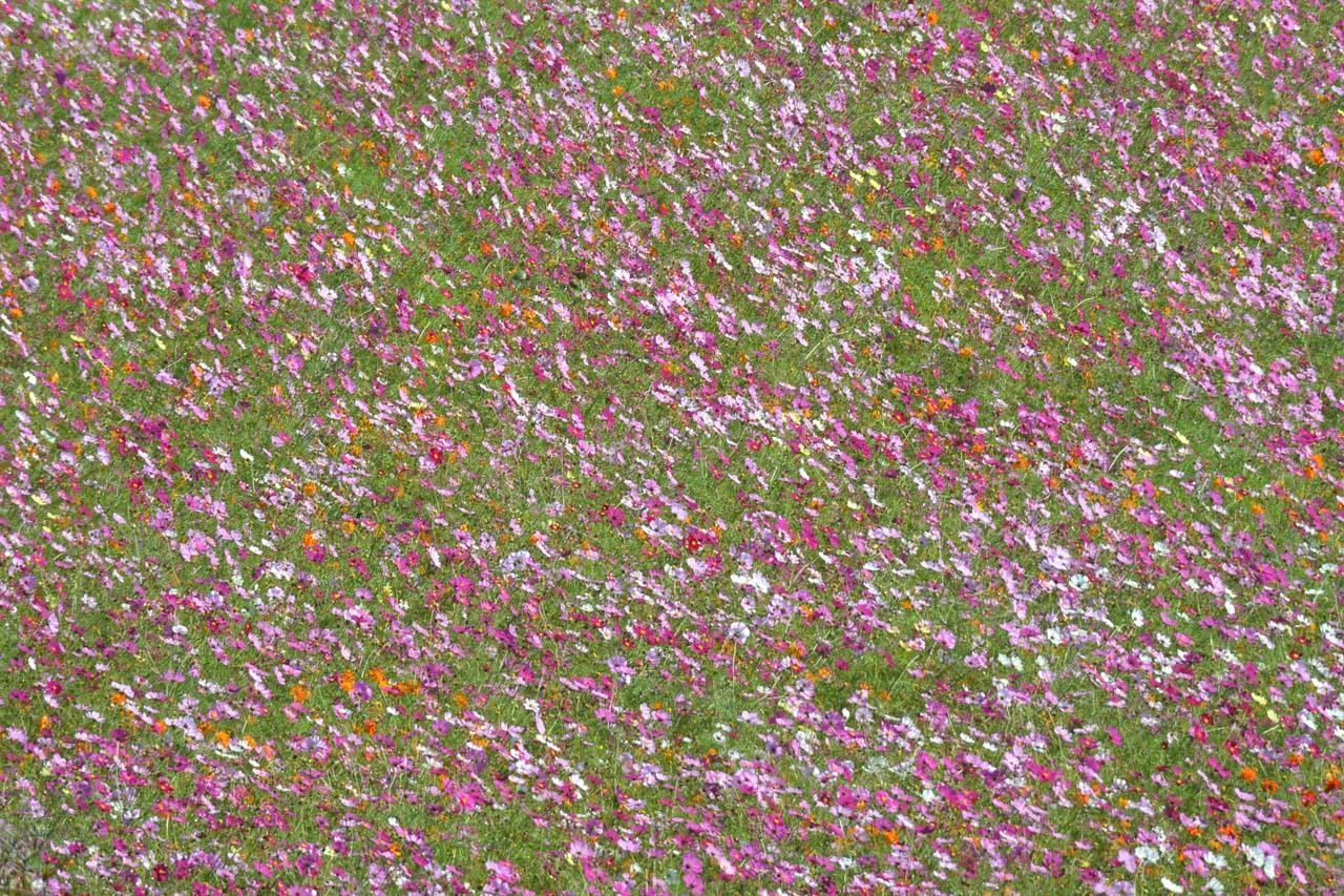 DSC_0385秋桜