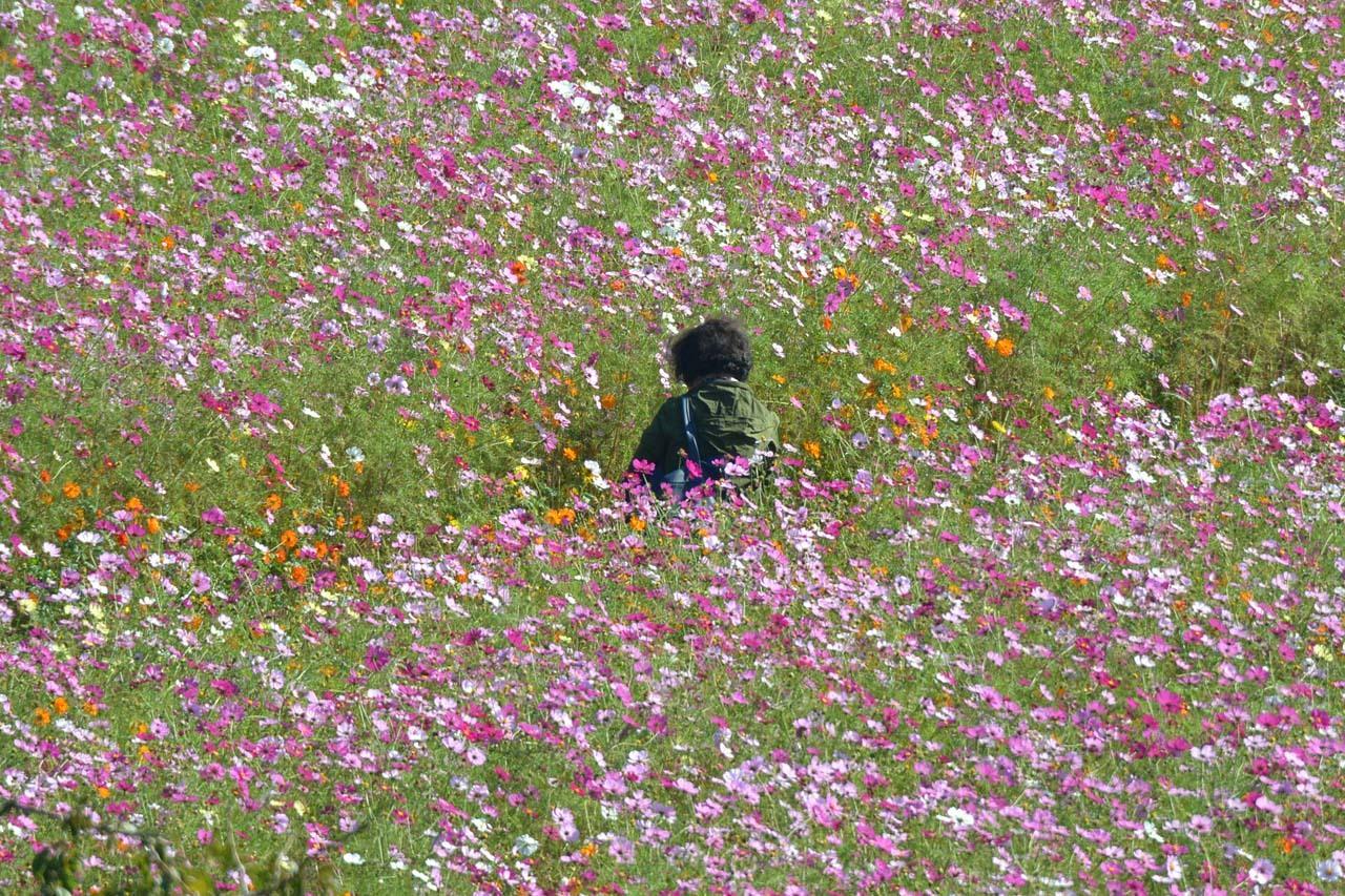DSC_0386秋桜
