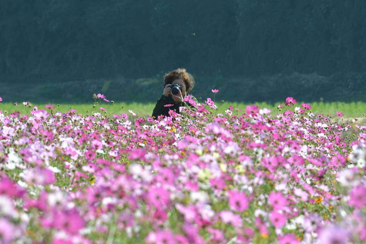 DSC_0396秋桜