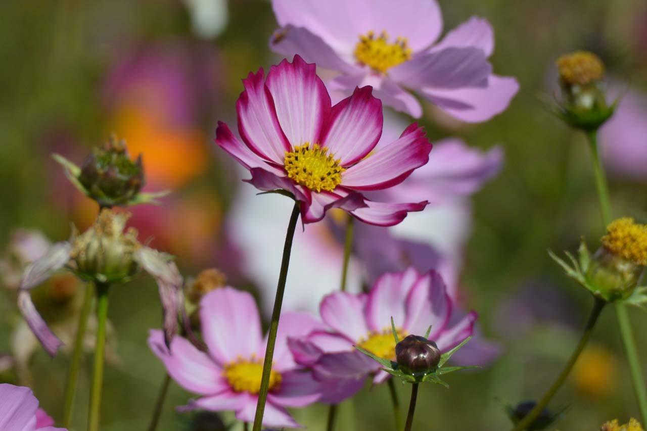 DSC_0350秋桜