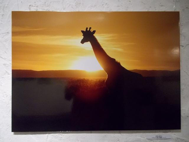 夕陽キリン