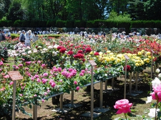 神代植物公園 バラ 1