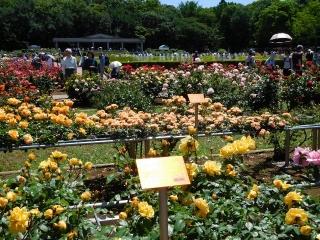 神代植物公園 バラ 2