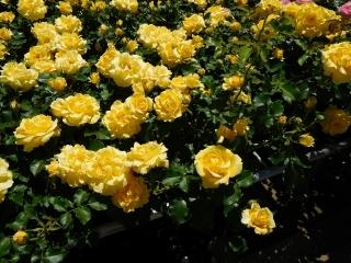 神代植物公園 バラ 3