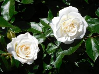 神代植物公園 バラ 5