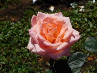 神代植物公園 バラ 6