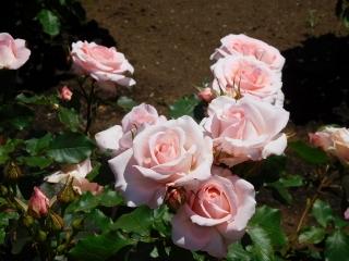 神代植物公園 バラ 7