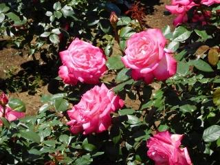 神代植物公園 バラ 8