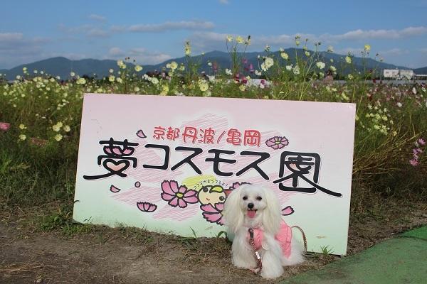 2016.11.07 亀岡夢コスモス園④-19