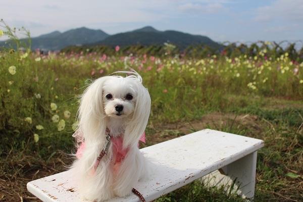 2016.11.07 亀岡夢コスモス園④-24