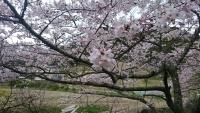 桜さいたよ2016