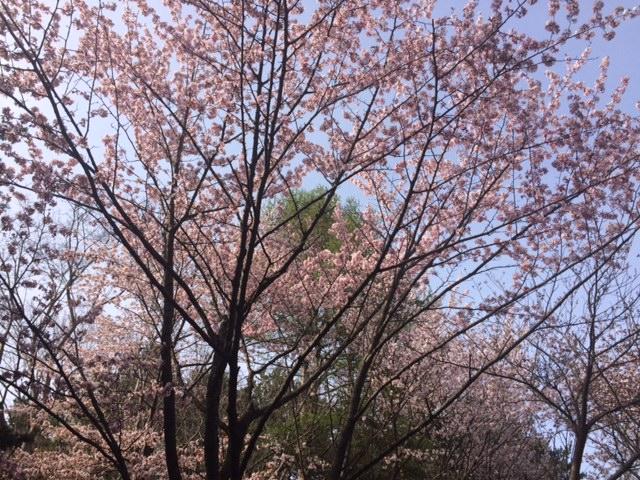 20160503神宮の桜3