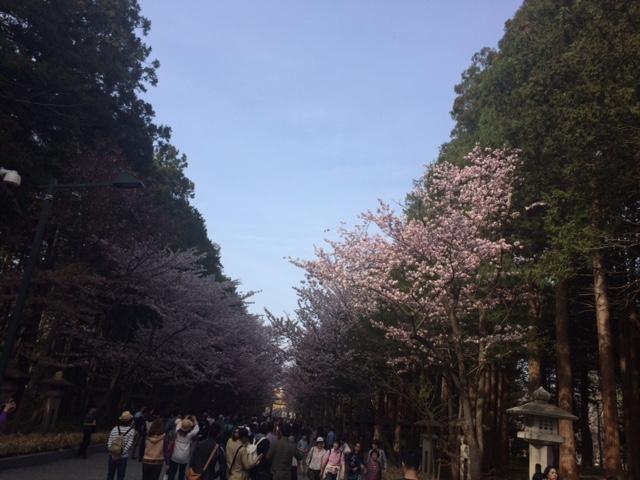 20160503神宮の桜4