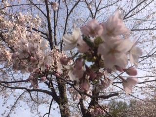 20160503神宮の桜5