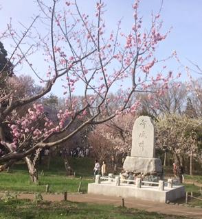 20160503神宮の桜6