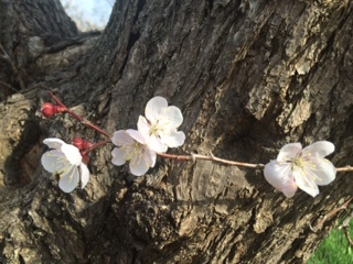 20160503神宮の桜10