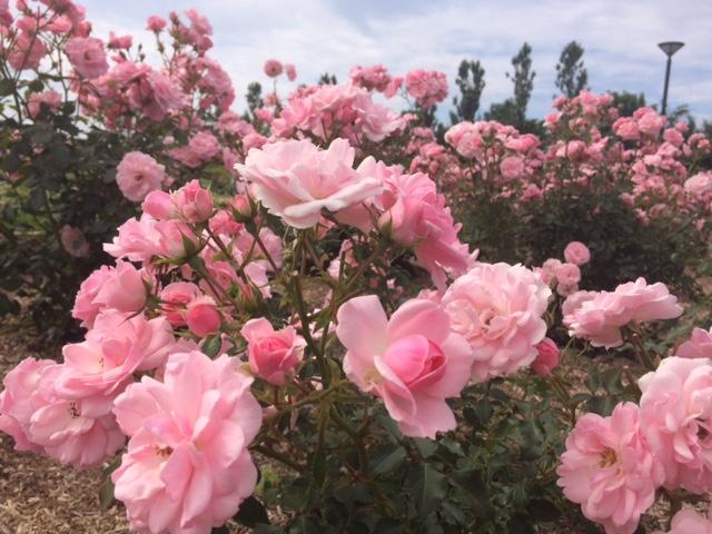 羽幌薔薇園2