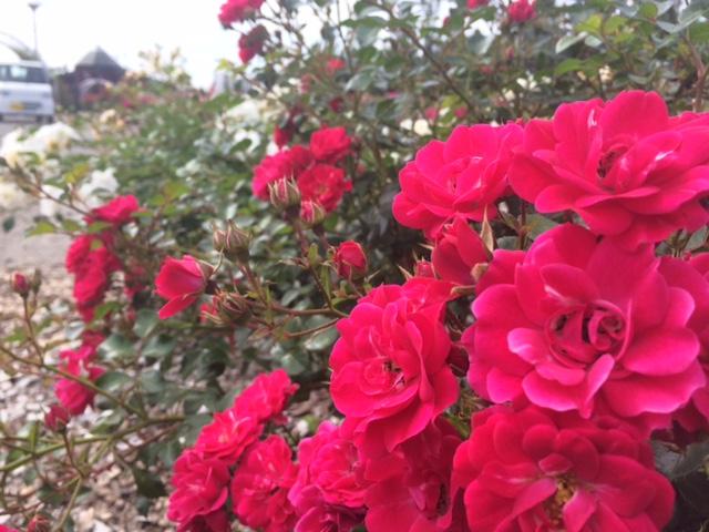 羽幌薔薇園3