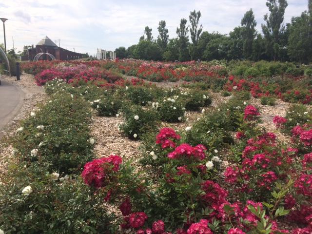 羽幌薔薇園5