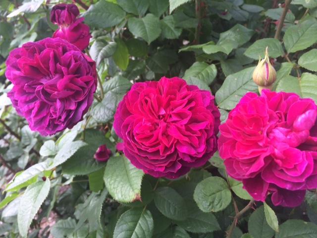 羽幌薔薇園6