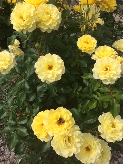 羽幌薔薇園11