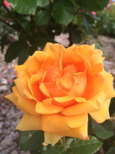 羽幌薔薇園12