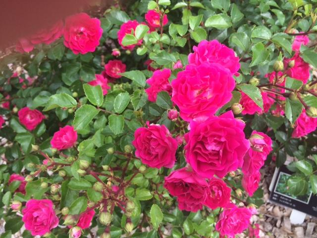 羽幌薔薇園15
